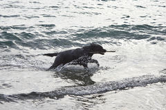 black dog play with water on the beach Stock Photography