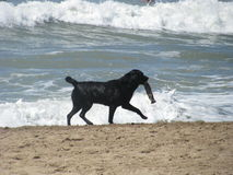 Black Dog Playing in a beach Stock Image