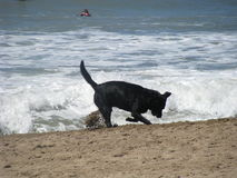 Black Dog Playing in a beach Royalty Free Stock Photo