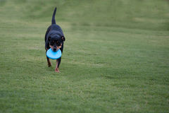 Black dog playing with blue frisbee disc Stock Photos