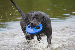 Black dog is playing with a blue toy Stock Photos