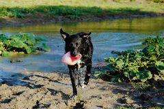 Black Dog playing fetch. Dog plays fetch in pond water shows wet black pup with ball close up royalty free stock photo