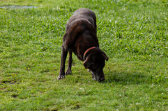 Black dog is playing outside on grass shot with copyspace Royalty Free Stock Photography