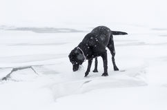 The black dog playing on the snowy embankment Royalty Free Stock Photo