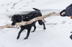 The black dog playing on the snowy embankment Royalty Free Stock Images