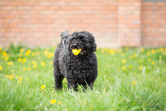 Black dog playing in spring garden Royalty Free Stock Image