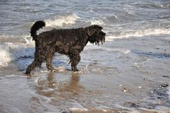 Black dog playing in water Stock Image