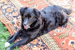 Black dog pooch on the carpet Royalty Free Stock Images