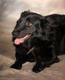 Black dog pooch Stock Photography