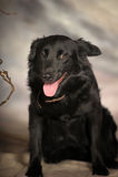 Black dog pooch Royalty Free Stock Photo