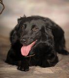 Black dog pooch Stock Images