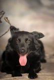 Black dog pooch Stock Image