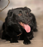 Black dog pooch Royalty Free Stock Photos