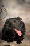 Black dog pooch Royalty Free Stock Images