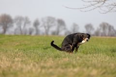 The black dog pooing on greensward, Appenzeller Mountain Dog.  stock images