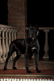Black dog on the porch at night Stock Photography