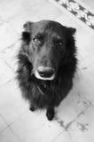 Black dog portrait Royalty Free Stock Photography