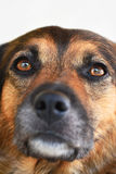 Black dog portrait. Portrait of a black dog Royalty Free Stock Photo