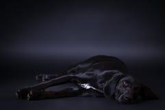 Free Black Dog Portrait Stock Images - 98695304