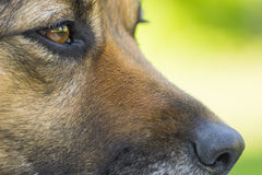 Black dog portrait. Portrait of a black dog with brown eyes Stock Photography