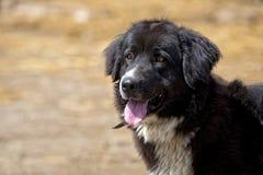 Black dog, a portrait Royalty Free Stock Image