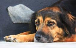 Black dog portrait. Portrait of a black dog lying on the floor Stock Image
