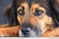 Black dog portrait. Portrait of a black dog lying on the floor Royalty Free Stock Photo