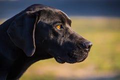 Black dog Royalty Free Stock Images
