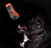 Black dog posed on studio. Stock Image