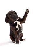 Black dog posed on studio taking his paw. Stock Photography