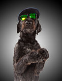 Black dog posed with sunglasses and cap. Royalty Free Stock Image