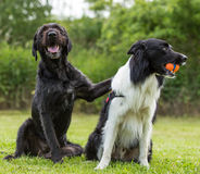 Black dog posing together with border collie. Stock Images