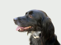 Black dog profile over grey. Setter cross. Royalty Free Stock Image