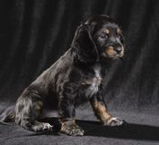 .black dog puppy Russian Spaniel on black background royalty free stock images