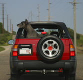 Black dog in red car. Black great dane dog looks out to left from small red geo tracker car Stock Image