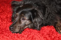 Black dog on a red carpet. Closeup of a melancholic black dog lying on a fluffy scarlet carpet stock images