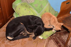 Black dog and red cat sleeping together Royalty Free Stock Photos