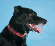 Black dog in red collar on blue Royalty Free Stock Image