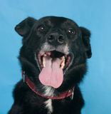 Black dog in red collar on blue Royalty Free Stock Photos