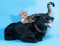 Black dog in red collar and striped cat on blue Royalty Free Stock Photography