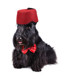 Black dog in red fez Royalty Free Stock Photos