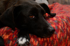 Black dog relaxes Stock Photos