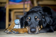 Black dog resting lying on the floor. Indoors looking up with soulful eyes at its owner, low angle close up view of its face Stock Photography