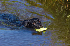 Black dog retrieving toy from water. Labrador retrieving dummy from water Royalty Free Stock Photography