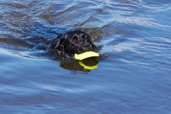 Black dog retrieving toy from water. Black Labrador retrieving dummy from water Stock Photo