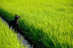 A black dog on rice paddy Royalty Free Stock Photo
