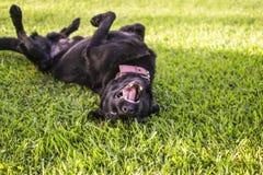 Black dog rolls over outside stock photos