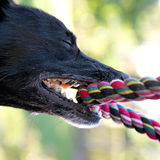 Black dog with rope Royalty Free Stock Photography