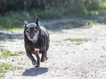 Black dog on the run. In the park in nature royalty free stock images