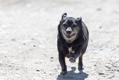 Black dog on the run. In the park in nature stock images